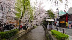 京都の春の桜