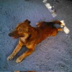 【パンガシナン】犬肉販売の容疑でフィリピーノを逮捕