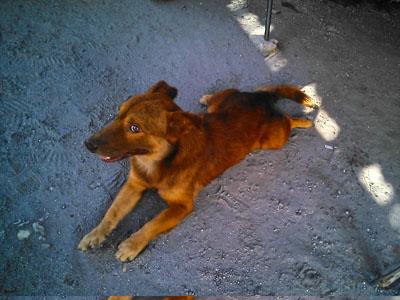 フィリピンのアンへレスの飼い犬