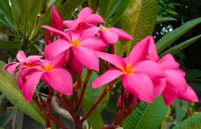 タイのチェンマイのきれいな花