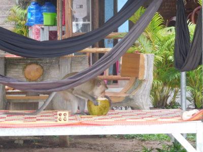 カンボジアのケップビーチでココナッツを食べる猿