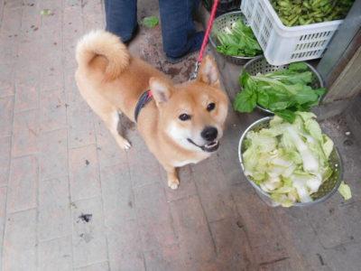 中国成都の柴犬