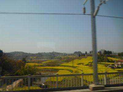 中国鉄路高速(中国新幹線)からのきれいな菜の花畑