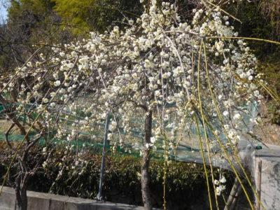大阪泉南市の金熊寺梅林の梅の花