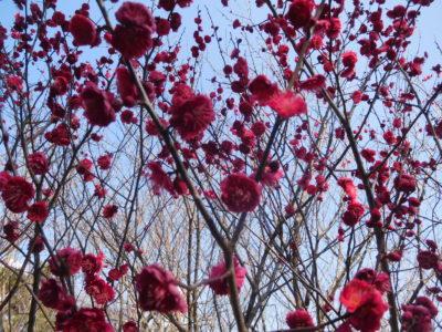 和歌山城の梅の花